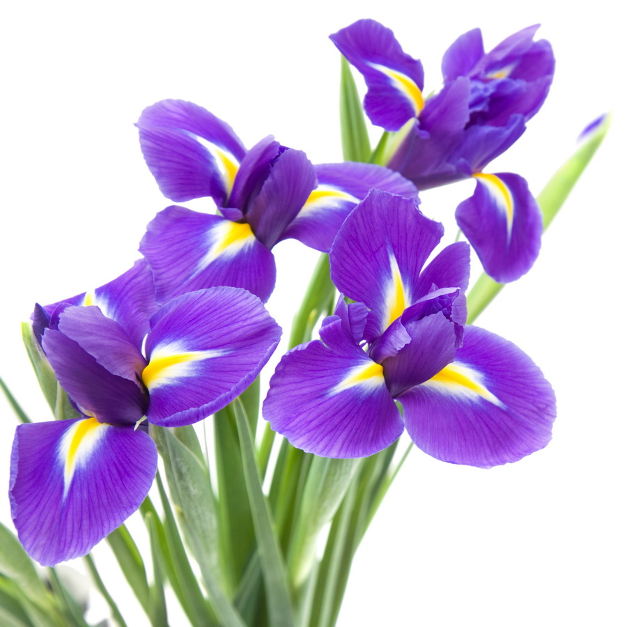 Ирис - crocus-flowers38.ru